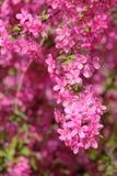 Crabapple blommor royaltyfri bild