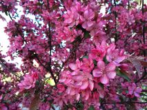 Crabapple blomning Arkivbilder