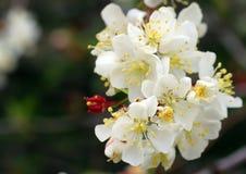 Crabapple blomning Royaltyfri Fotografi