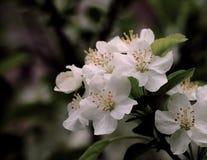 Crabapple blomning Arkivbild