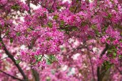 Crabapple blomstrar på våren Royaltyfria Foton