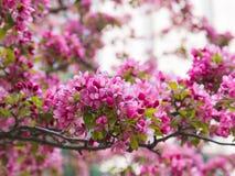 Crabapple blomstrar på våren Royaltyfri Foto