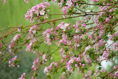 Crabapple in the spring. The crabapple are blooming in the spring. Scientific name: Malus micromalus Royalty Free Stock Photos