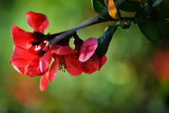 Crabapple blooms in spring Stock Image