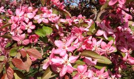 Crabapple Blooms Stock Photography