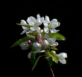 Crabapple Blossom Royalty Free Stock Photos