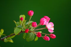 Crabapple Blossom stock photo