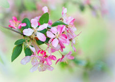 Crabapple blossoms Royalty Free Stock Image