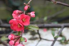 Crabapple Blossoms Stock Photo