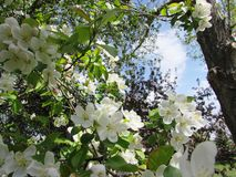 Crabapple Blossoms. In early spring Stock Images