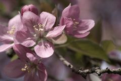 Crabapple Blossoms in Spring Stock Image