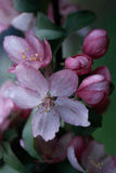 Crabapple Blossoms. Stock Photos