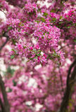 Crabapple Blossoms in the Spring Stock Photos