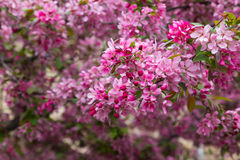 Crabapple Blossoms in the Spring Royalty Free Stock Photography