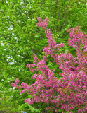 Crabapple Blossoms in the Spring Stock Image