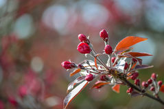 Crabapple Blossoms. Spring, red buds Ornamental Crabapple Royalty Free Stock Photo