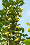 Crabapple Stock Photo