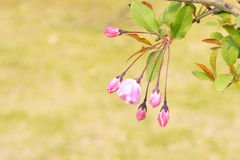 Crabapple buds Stock Photography