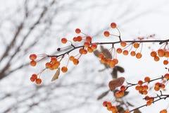 Crabapple chino rama del manzano con las manzanas Frutas amarillo-naranja del prunifolia del Malus foco suave, profundidad baja d Imagenes de archivo
