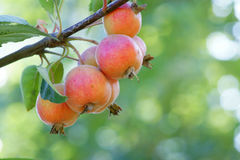 Crabapple Royalty Free Stock Photo