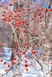 Crabapple de los cristales de hielo Fotografía de archivo libre de regalías