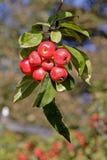 Crabapple de rouge de jardin d'Alnwick Image libre de droits