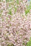 Crabapple di fioritura cinese Fotografie Stock Libere da Diritti