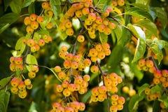 Crabapple drzewo Obraz Royalty Free