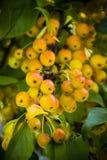 Crabapple drzewo Zdjęcia Royalty Free