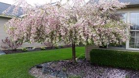 Crabapple fleurissant Image stock