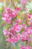 Crabapple fleurissant chinois Image stock