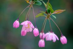 Crabapple flower and buds. The close-up of crabapple flower and buds. Scientific name: Malus micromalus Stock Image