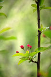 Crabapple flower buds Royalty Free Stock Photography