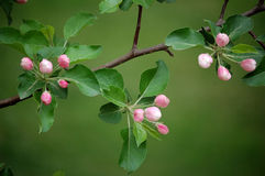 Crabapple flower buds Stock Images