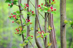 Crabapple flower buds Stock Photography