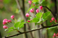 Crabapple flowers. Branches of crabapple flower buds in  spring Stock Photography