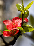 Crabapple flowers Royalty Free Stock Images