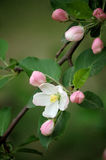 Crabapple flowers Stock Image