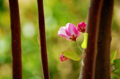 Crabapple flowers. Booming in spring stock photography