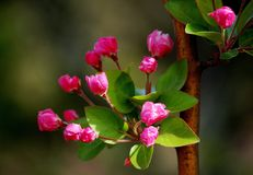 Crabapple flowers. Booming in spring stock image