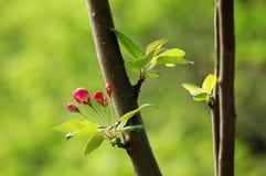 Crabapple flowers Stock Image