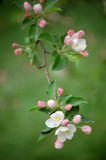 Crabapple flowers Royalty Free Stock Photos