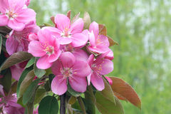 Crabapple flowers Royalty Free Stock Photo
