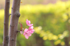 Crabapple flowers Stock Photos