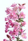 Crabapple flowers Stock Photos