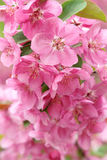 Crabapple flowers Stock Images