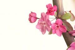 Crabapple flowers Stock Photography