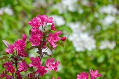 Crabapple flowers Royalty Free Stock Photography
