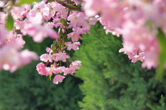 Crabapple flowers. The close-up of crabapple flowers. Scientific name: Malus micromalus Stock Photo