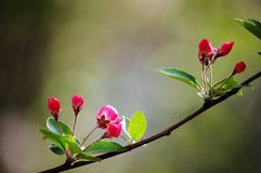 Crabapple flowers. Booming in spring royalty free stock photos